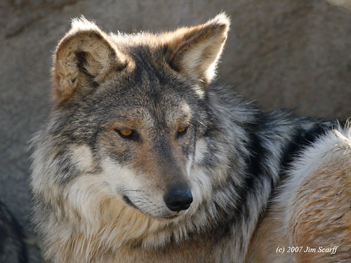 Mexican wolf (Canis lupus) by Jim Scarff.