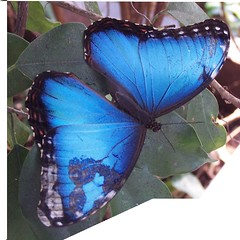Blue Morpho Butterfly (rich66 ~~) Tags: blue nature butterfly insect wings searchthebest irridescent morphopeleides bluemorpho naturesfinest flickrsbest goldenmix superbmasterpiece diamondclassphotographer flickrdiamond wtmwchallengewinner macromix wonderfulworldmix