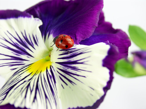 Pansy Ladybug