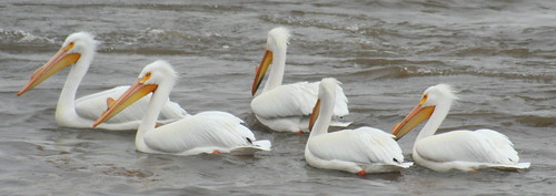 white pelicans together