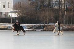 Icelandic Longhair horses (Observe The Banana) Tags: horse lake iceland longhair reykjavik tjornin