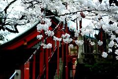 so long*sakura encore* (Prudence Ann) Tags: red japan canon eos 50mm tokyo march spring shrine warm day sakura friday mita jinja keio kissn  sakuradadori