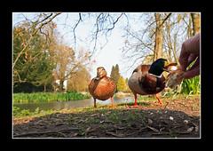 Buriton..31 Mar 2007 (strussler) Tags: england canon eos village ducks sigma hampshire 5d mallard buriton abigfave impressedbeauty diamondclassphotographer flickrdiamond