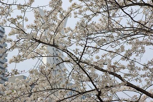 Sakura 2007 01