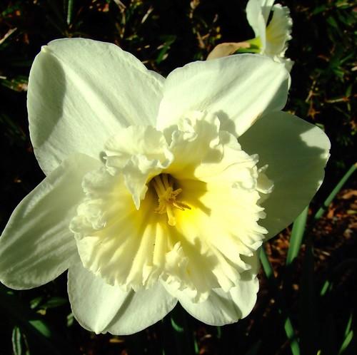 النرجــــس Narcissus