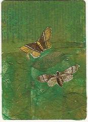butterflies aceo