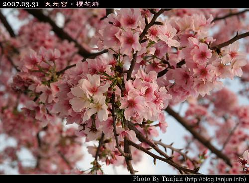天元宮‧櫻花群