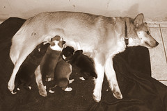 with their mommy (ice_ace) Tags: puppies olympus cuteness e500 adoreble