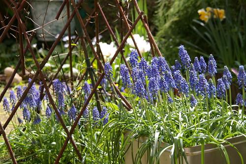 庭のムスカリ