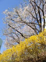 桜と連翹と青空