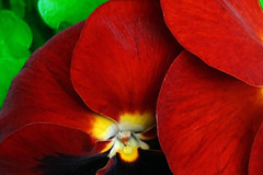 You Pansy (Bay M) Tags: flowers red plants black color colour crimson st scarlet suffolk flickr andrews rich pansy richie richard reddy excellence top20colorpix woolverstone anawesomeshot wisbey richardwisbey richiewisbey richwisbey wisbeyflickr wisbeyphotography