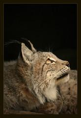 The lynx's look (hvhe1) Tags: nature animal cat bravo searchthebest wildlife predator soe lynx lynxlynx specanimal animalkingdomelite abigfave hvhe1 hennievanheerden anawesomeshot
