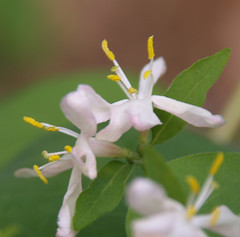 10.  Honeysuckle in Bloom