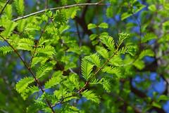 Metasequoia glyptostroboides (Eric Hunt.) Tags: tree green backlight leaf glowing conifer dawnredwood ucberkeleybotanicalgarden taxodiaceae
