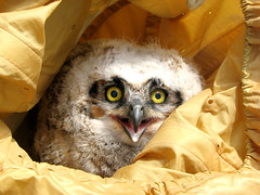bagged! (bassicharmony) Tags: baby bird raptor owl greathornedowl nestling featherfriday specanimal avianexcellence
