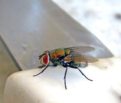 Mosca3 (Marcos Alborghetti) Tags: fly mosca varejeira