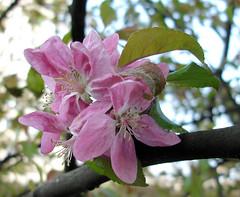 Apfelblüten - by Gertrud K.