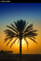Lonely Palm Tree (Hussain Shah.) Tags: tree d50 nikon uae silhouettes palm lonely sharjah      superaplus aplusphoto