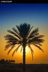 Lonely Palm Tree (Hussain Shah.) Tags: tree d50 nikon uae silhouettes palm lonely sharjah الإمارات الغروب الشارقة نيكون نخلة superaplus aplusphoto سيلويت