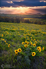 Enlightenment (Zack Schnepf) Tags: flowers flower grass oregon landscape spring pasture sunflower gorge rays pastoral grassland blueribbonwinner pastural outstandingshots abigfave colorphotoaward superaplus aplusphoto