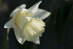 Cape May Daffodil (julie scholz) Tags: nikon bravo nj mimbrava jude daffodil capemay excellence naturesfinest magicdonkey dotlyc d80 julies517 janoid mslume anawesomeshot aplusphoto pjmcadie