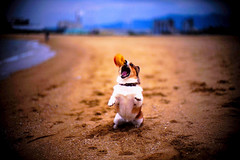 catch (moaan) Tags: dog beach 50mm corgi dof bokeh f10 momento noctilux zeissikon moment fluke 2007 rvp fujivelvia explored fujirvp pochiko 30faves30comments300views leicanoctilux50mmf10 acrucialmoment gettyimagesjapanq1 gettyimagesjapanq2