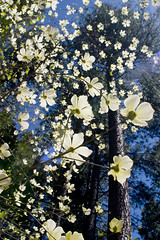 Floating Dogwood blossoms - by Daleberts