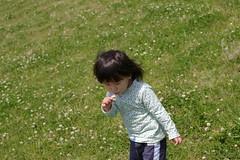 白詰草、咲き乱れる