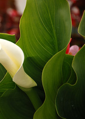 DSC_0042 (Unsavior) Tags: leaf callalily
