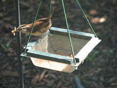 Wren with beakful