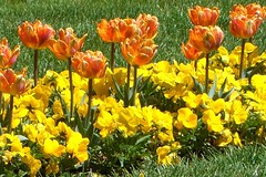Orange Tulips at the Smithsonian Castle (desbah) Tags: orange grass yellow spring colorful tulips pansies smithsoniancastle