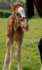Shire Horse Foal (Bawmer) Tags: horse shire foal d40 nikkorafxdx55200f456ged cotebrookshirehorsecentre