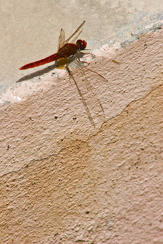 Shadow of the Dragonfly