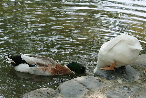 ducks, dating
