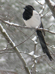Magpie in the Snow (PuffinArt) Tags: snow tree lumix bravo panasonic neve snowing puffinart magpie tre rvore sn fz30 pega nevando skre vandamalvig pdpnw corvdeo
