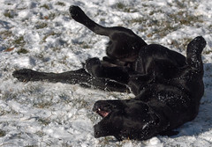 Daily Dog Challenge - ritual (d2roberts) Tags: labrador dunkel dailydogchallenge ddc dailychal snow rolling happy