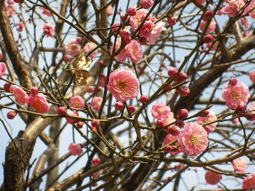 もう春がそこまで来ているわ。これ、紅梅?