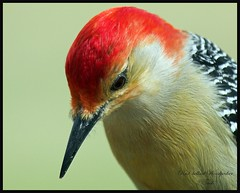 Red-bellied Woodpecker (Momba (Trish)) Tags: red bird birds woodpecker nikon bravo tennessee quality redbelliedwoodpecker nikkor momba iloveit naturesfinest parkstock nikond200 magicdonkey interestingness148 i500 impressionsexpressions nikonstunninggallery specanimal animalkingdomelite mywinners abigfave qemdfinch colorphotoaward ultimateshot explore30january2007