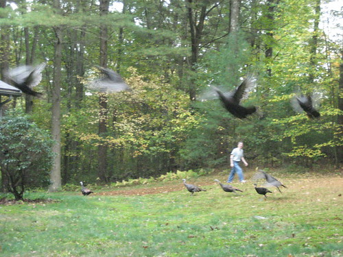 when turkeys fly