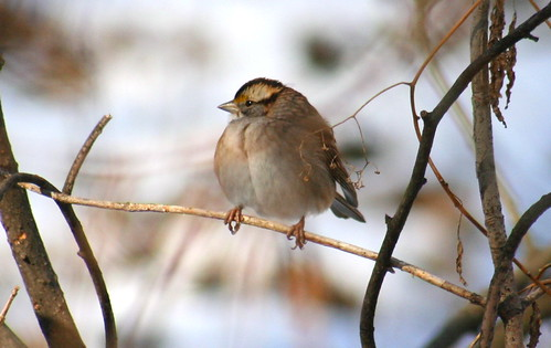white-throated sparrow 07