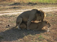 Frolicking Lions (nichola chapman) Tags: africa sex kenya masi safari mara lions
