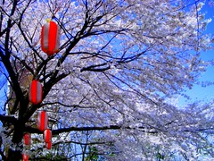 sakura (totomai) Tags: park pink japan spring blossoms lanterns sakura cherryblossoms paperlanterns cy2 challengeyouwinner favoritegarden