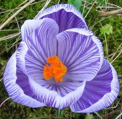 Crocus Pickwick (Stones 55) Tags: flower bulb garden spring purple crocus pickwick iridaceae theflickrstationworldexaminer