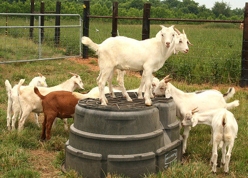 Goats from 2007 test