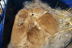 Snuggling bunnies (Sjaek) Tags: pet cute rabbit bunny bunnies furry babies adorable fluffy rabbits sonyalpha sonydslr