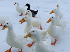 Oh look; here comes Trouble!! (mightyquinninwky) Tags: winter orange white snow black green 120 ice beautiful beauty birds 30 geotagged 2000 10 kentucky 110 ducks 150 explore 1900 lexingtonky richmondroad 100 500 20 waterfowl 50 75 inspire invite 130 1500 1000 waterbirds ih 140 2100 gaggle aflac thebigone featheryfriday outstandingshots flickrsbest 35faves 100comments jacobsonpark abigfave 200comments flickrgold cl33 impressedbeauty superaplus aplusphoto 400comments 200750plusfaves goldenphotographer avianexcellence superhearts onlythebestare platinumheartsaward top20white top20everlasting bestofwinter 300comments geo:lat=37991529 geo:lon=84431005 jasonpresser 10notes exploreformyspacestation