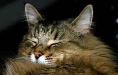 Fast Asleep (mightyquinninwky) Tags: boy cute cat nap searchthebest nick invite runt longhaircat kissablekat