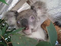 Oxley Westi (?) (broken_puzzle) Tags: australia koala portmacquarie koalahospital