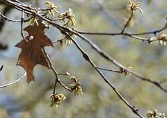 old guard handoff (DigitalLyte) Tags: leaves yard oak nikon handheld d200 oldskool redoak oldandnew newskool seasonschange spring07