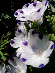 five spot - Nemophila maculata
